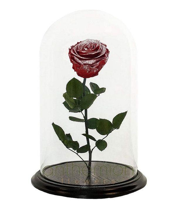 Forever rose bicolour (Medium size)