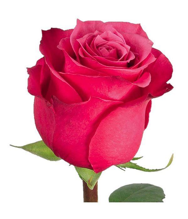 Φούξια Τριαντάφυλλα Εισαγωγής ανά τεμάχιο