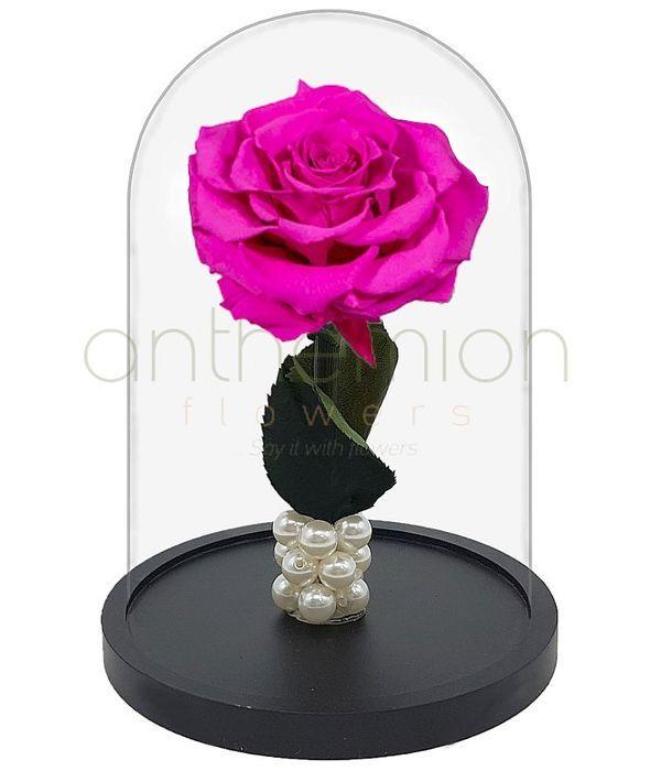 Φούξια Forever Rose (Μεγάλο μέγεθος)