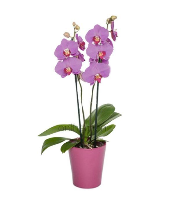 Lilac Orchid Phalaenopsis plant