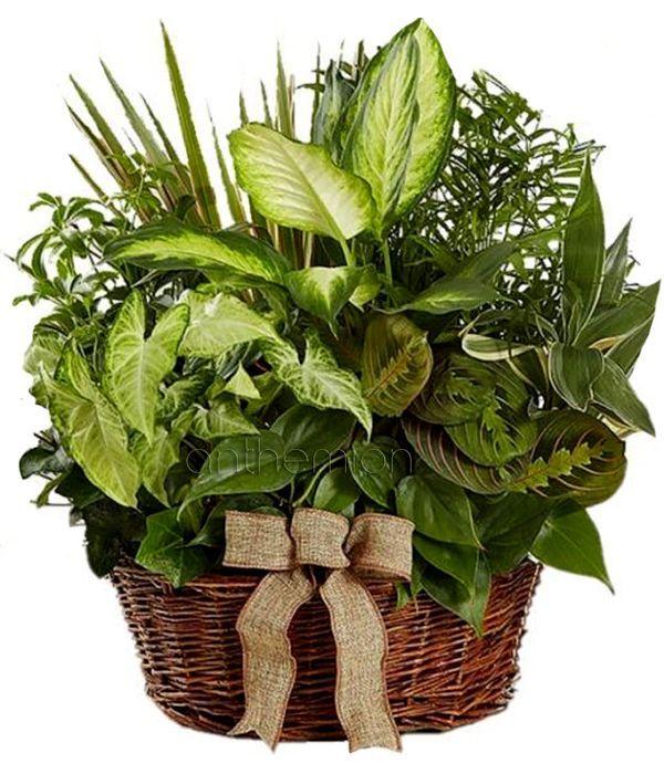 Green plant arrangement