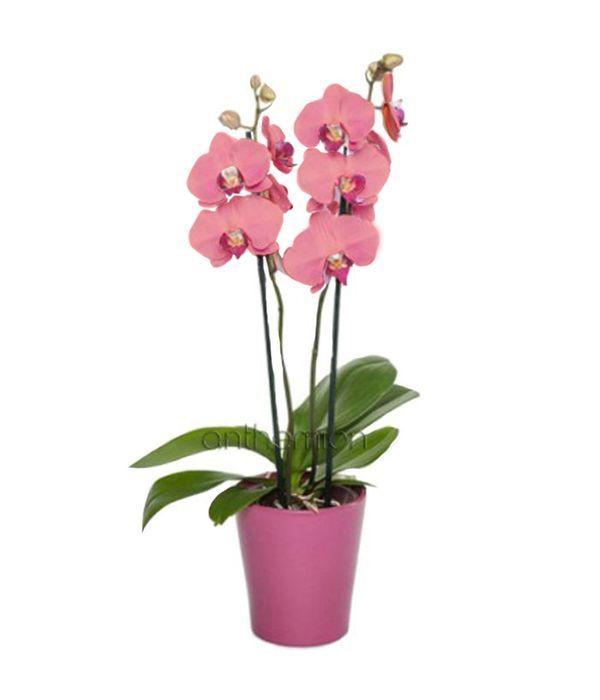 Pink orchid plant Phalaenopsis