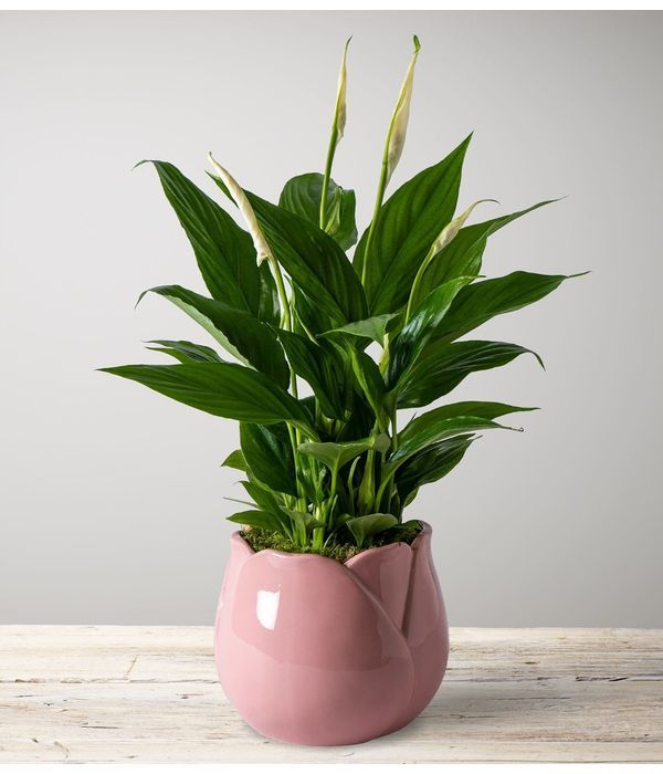 Perfect Peace Lily