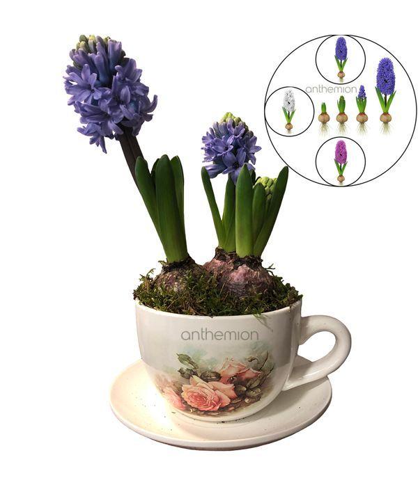 Fragrant Hyacinth in Ceramic Cup