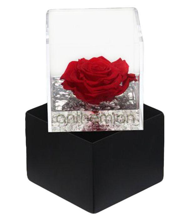 Κόκκινο Παντοτινό Τριαντάφυλλο