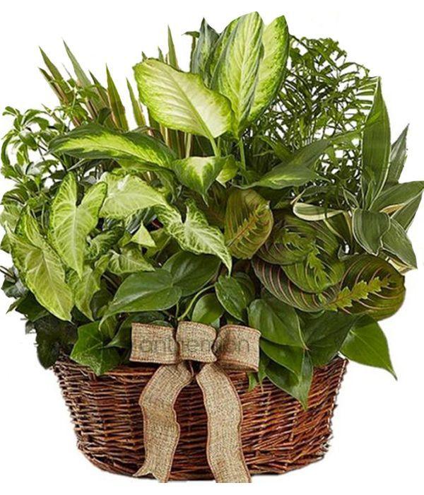 Green plant basket arrangement