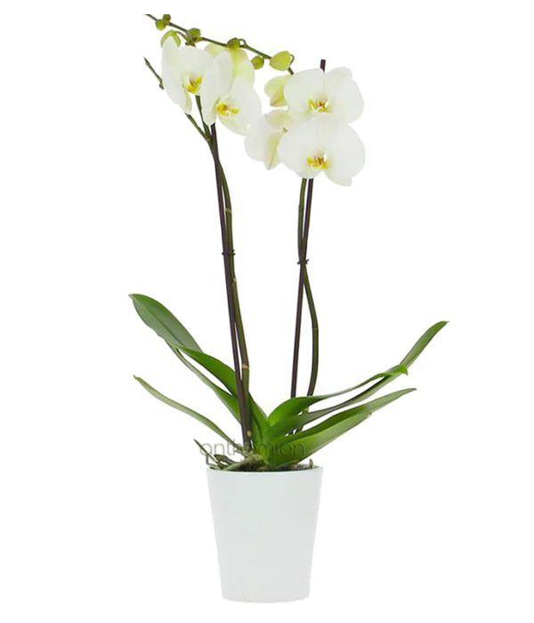 Υπέροχη Λευκή Ορχιδέα