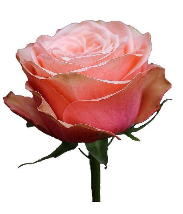 Σομόν Τριαντάφυλλα Εισαγωγής ανά τεμάχιο