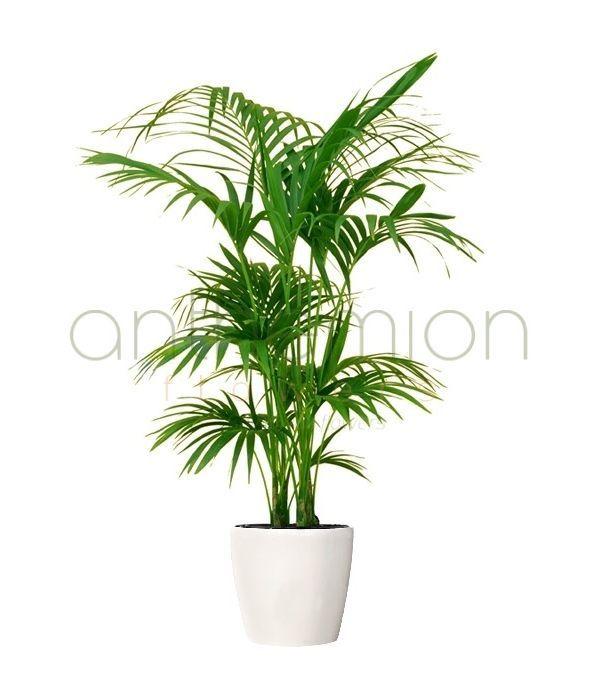 Κέντια Φυτό