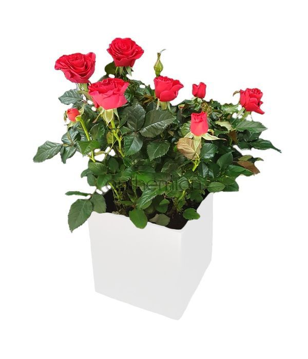 Red rose plant in cube