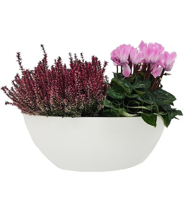 Reiki and cyclamen in a gondola shaped base