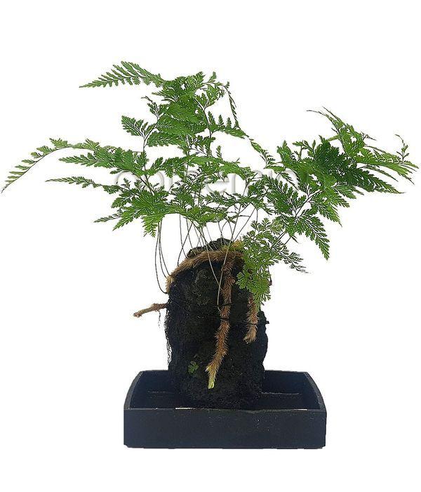 Φυτό που αναπτύσσεται σε πέτρα λάβας