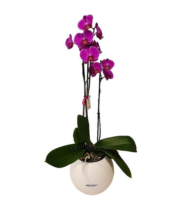 Orchid plant in self watering pot