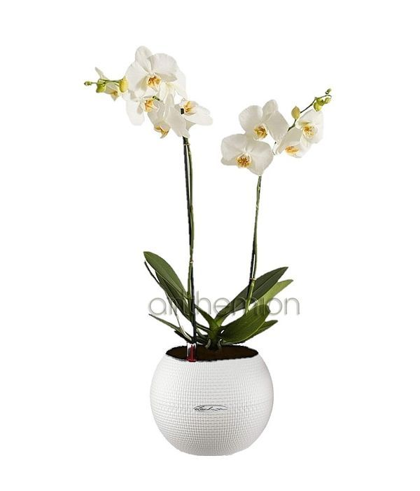 White orchid phalaenopsis in self watering pot