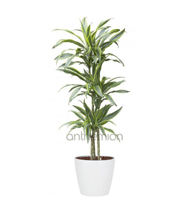 Φυτό Δράκαινα Λέμον Λάιμ (μικρό μέγεθος)