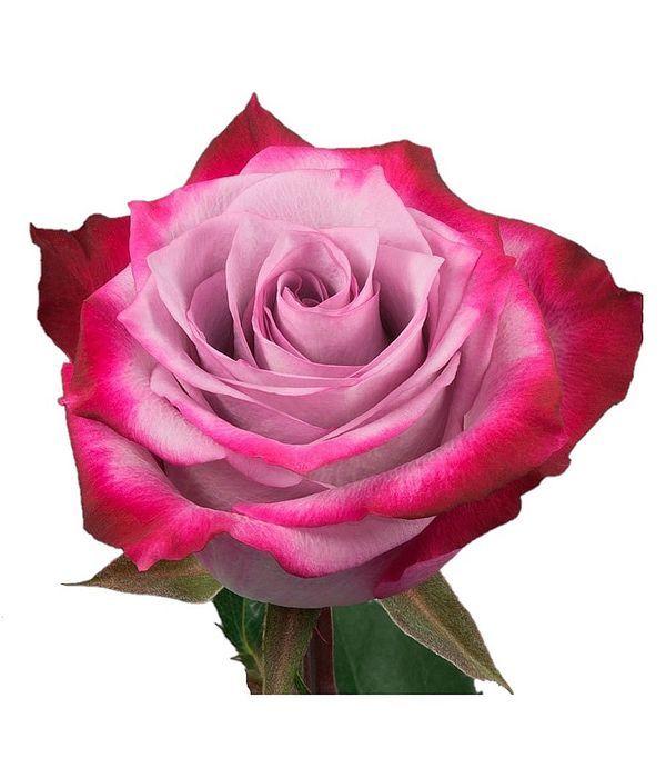 Μωβ Τριαντάφυλλα Εισαγωγής ανά τεμάχιο