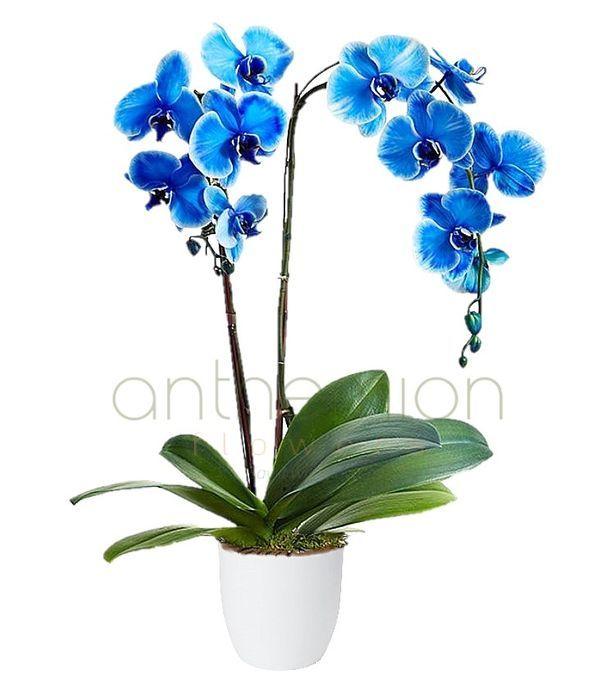 Μπλε ορχιδέα φαλαίνοψις