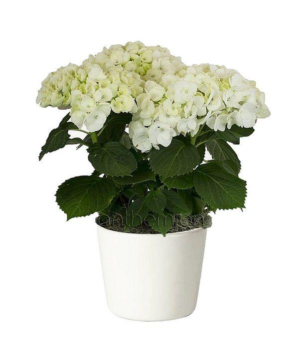 Λευκή ορτανσία με υπέροχα άνθη