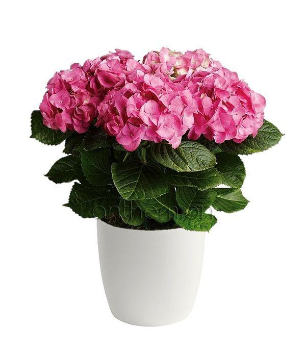 Beautiful flowers of hydrangeas