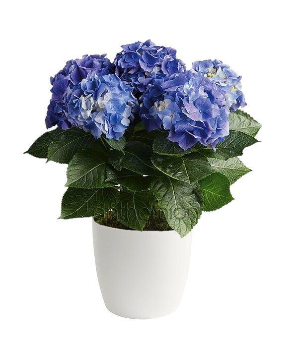 Ορτανσία σε μπλε/σιέλ χρώμα