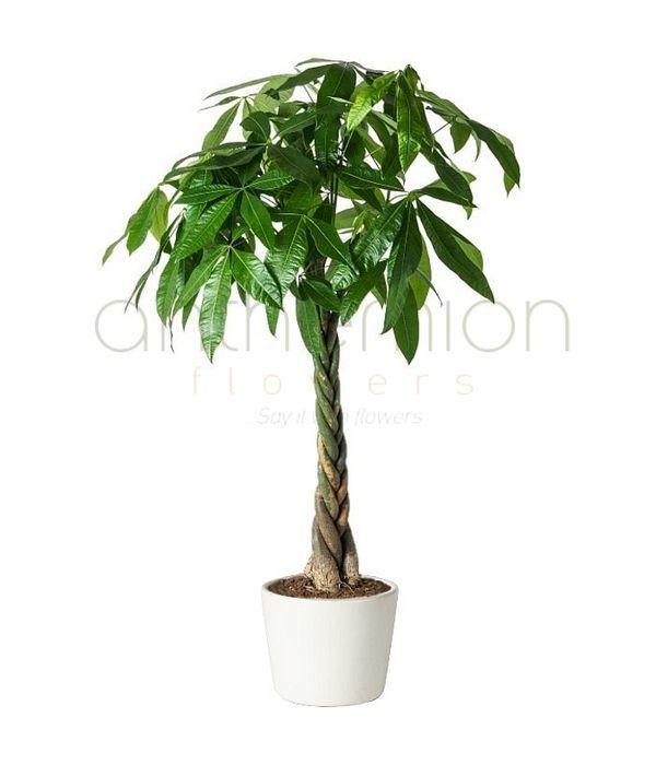 Παχίρα, το δέντρο του χρήματος