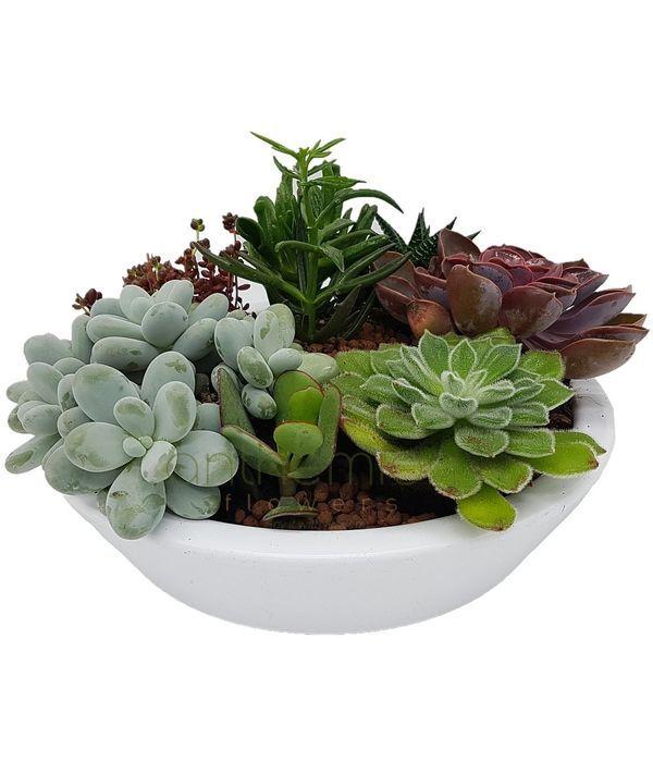Classic Succulents
