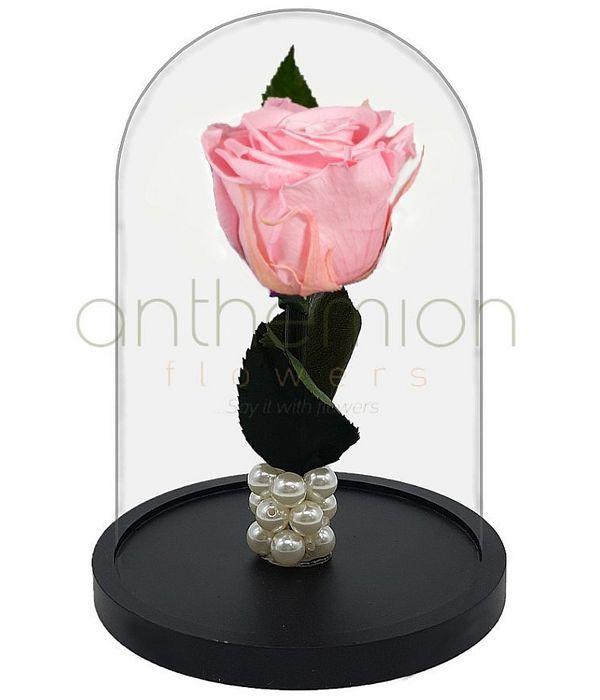 Ροζ Forever Rose  (Μεσαίο μέγεθος)
