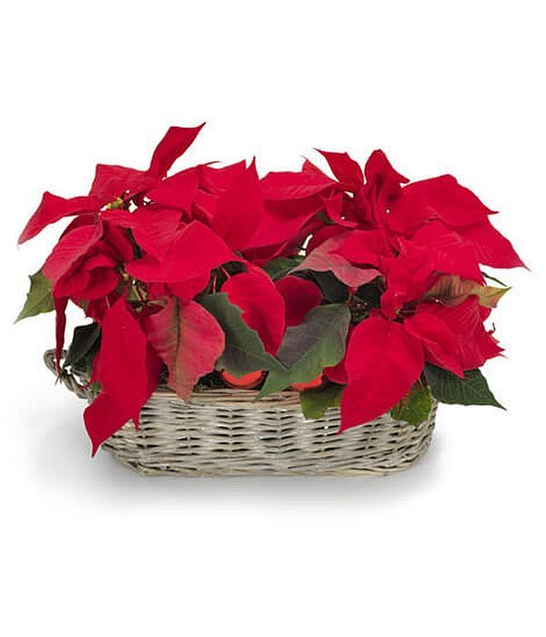 Poinsettia Christmas plants in a basket.