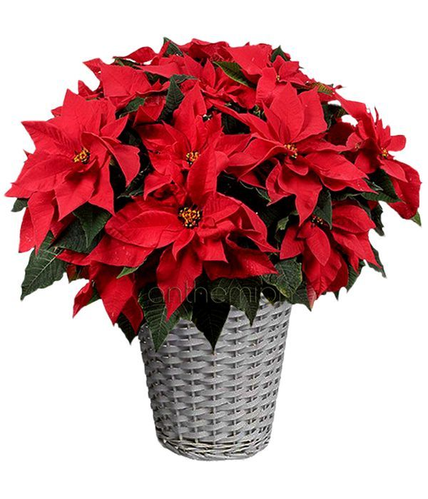 Large Poinsettia in basket