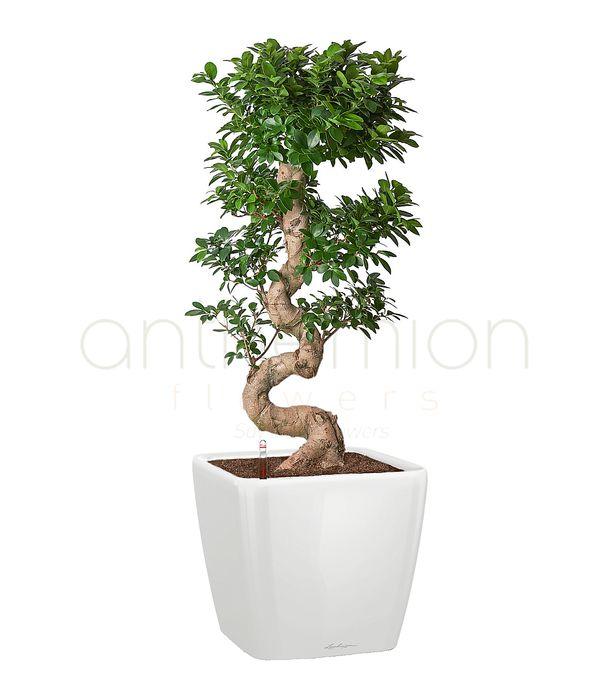 Premium bonsai in self watering pot
