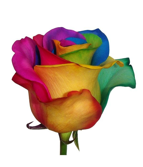 """Τριαντάφυλλο """"ουράνιο τόξο"""""""