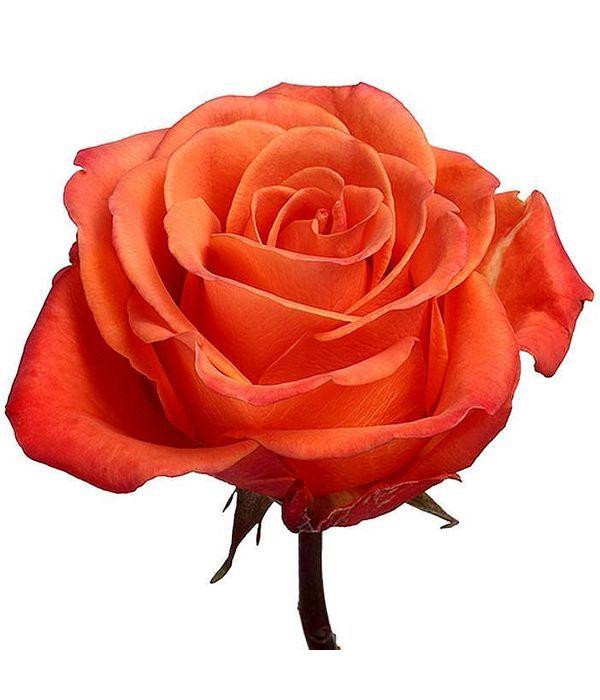 Πορτοκαλί Τριαντάφυλλα Εισαγωγής ανά τεμάχιο
