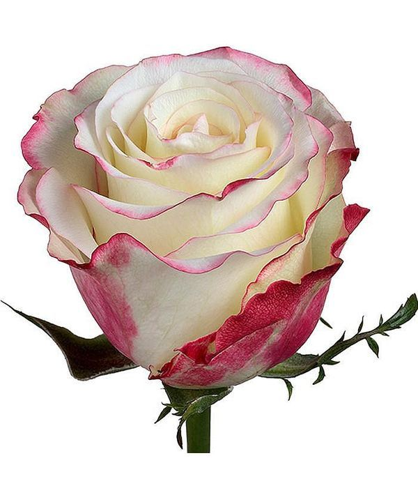 Sweetness Τριαντάφυλλα Εισαγωγής ανά τεμάχιο