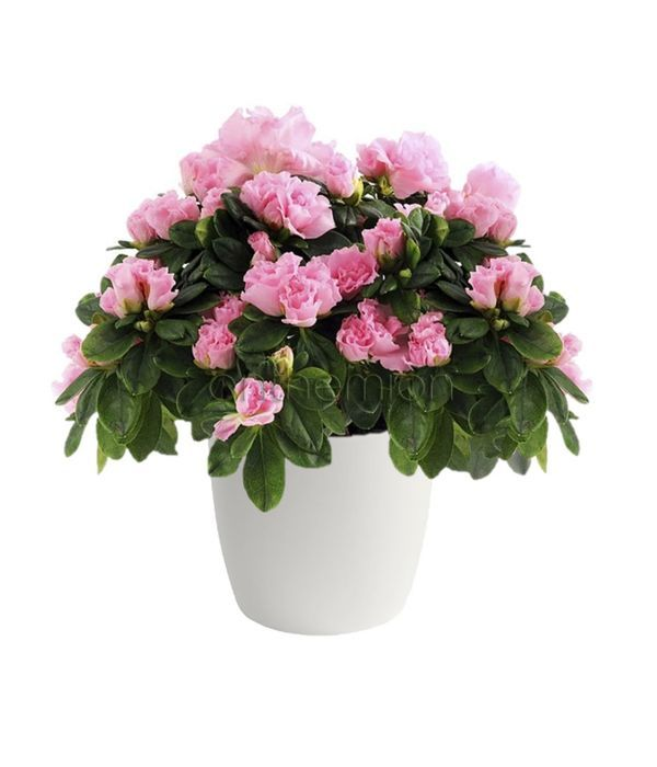 Ροζ Αζαλέα φυτό