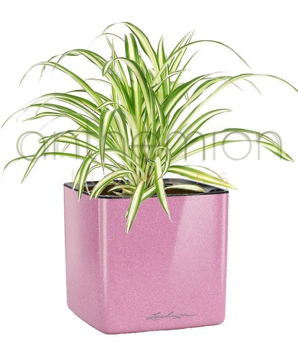Green plant in a pink glossy self watering plant