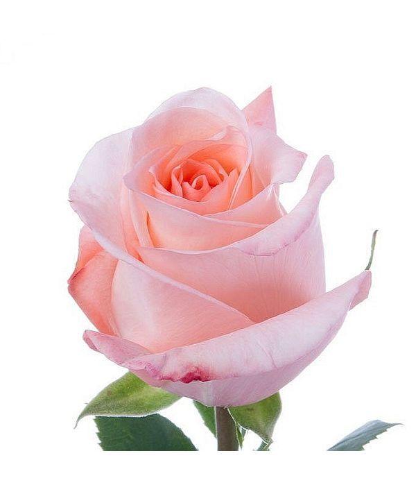 Ροζ Τριαντάφυλλα Εισαγωγής ανά τεμάχιο