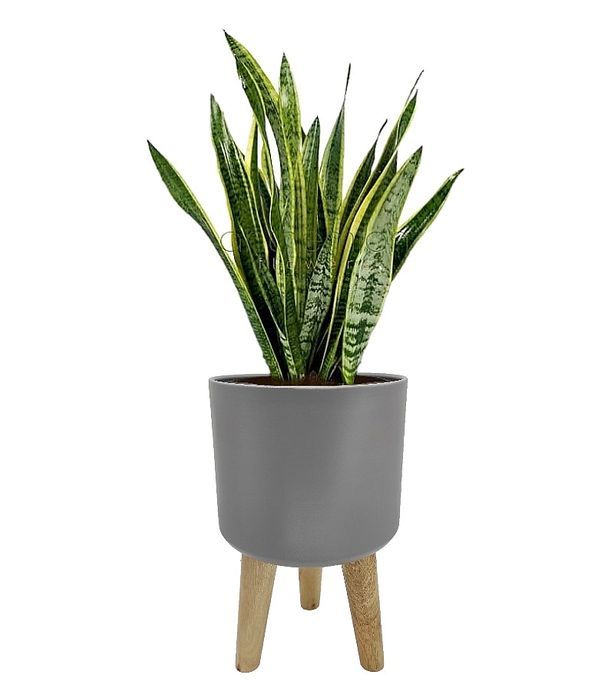 Sansevieria in pot with wooden legs