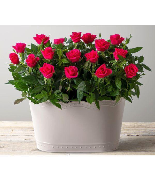 Ροζ τριανταφυλλιές σε βάση