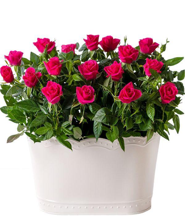 Διπλή ροζ τριανταφυλλιά