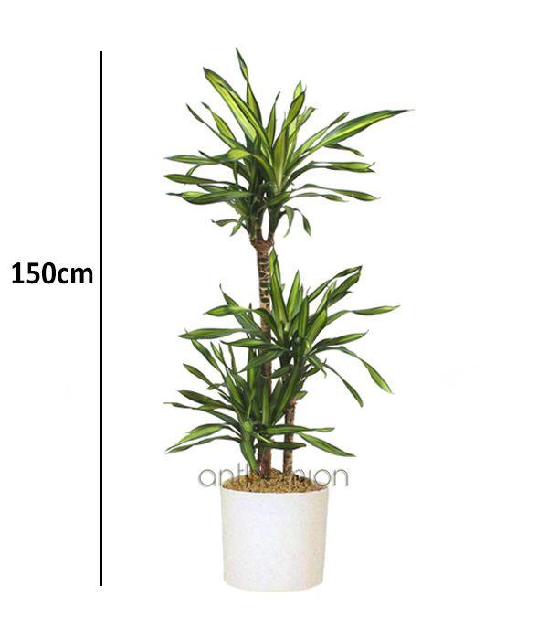 Φυτό Δράκαινα Ρέικι