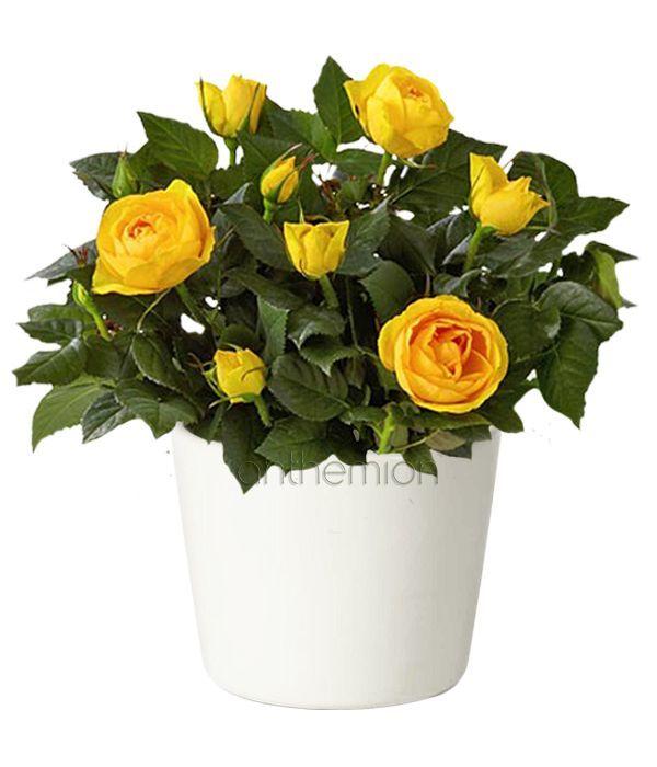 Μίνι κίτρινη τριανταφυλλιά σε κεραμικό κασπώ