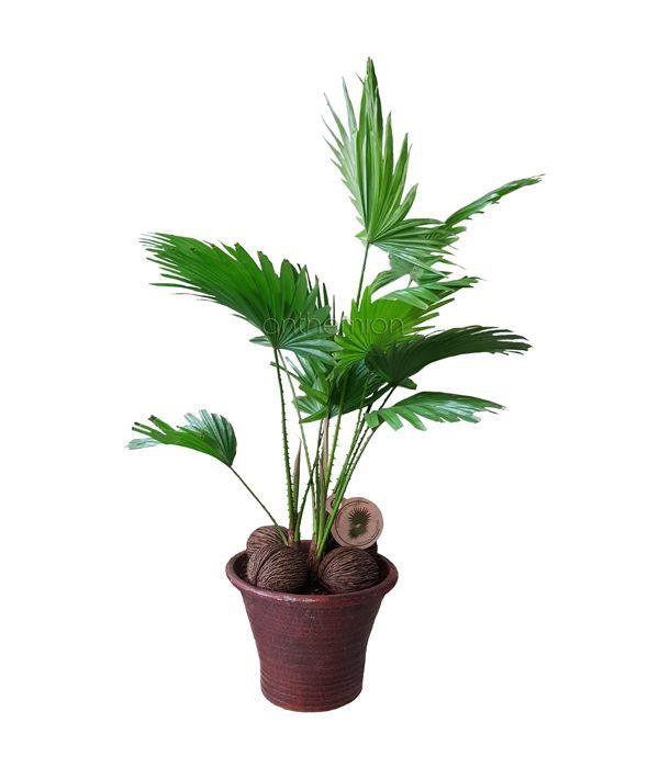 Φυτό Λιβιστόνα