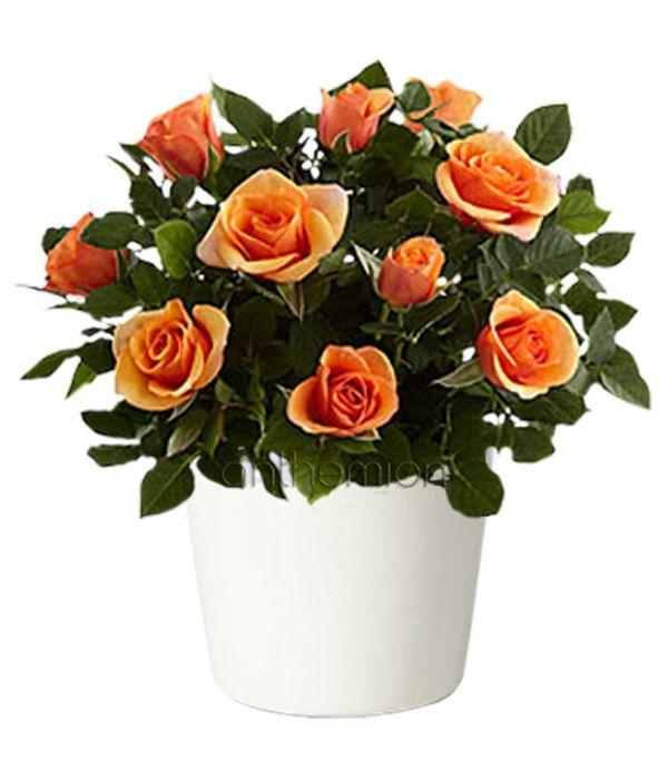 Μίνι πορτοκαλί τριανταφυλλιά σε κεραμικό κασπώ