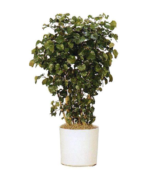 Αράλια φαμπιάνς ή Πολύσκιας φυτό