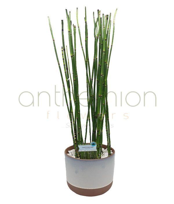 Φυτό bamboo snake