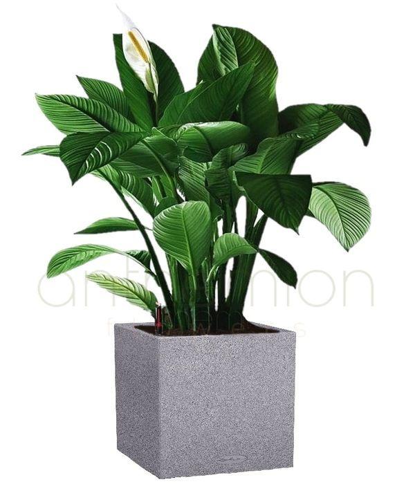 Spathiphyllum in modern self watering pot