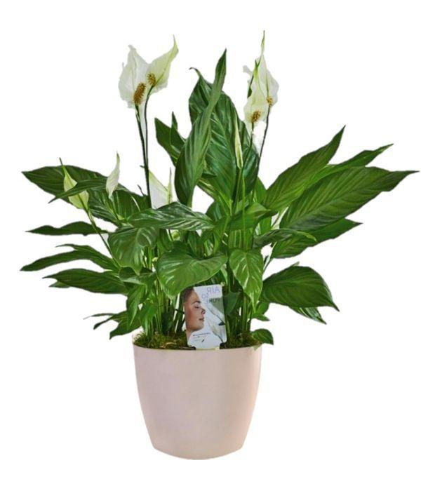 Σπαθίφυλλο φυτό