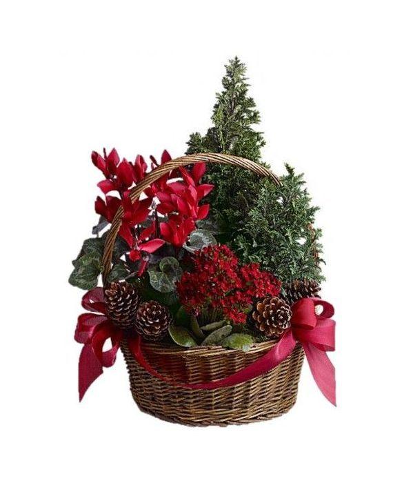 Χριστουγεννιάτικα Φυτά σε Καλάθι