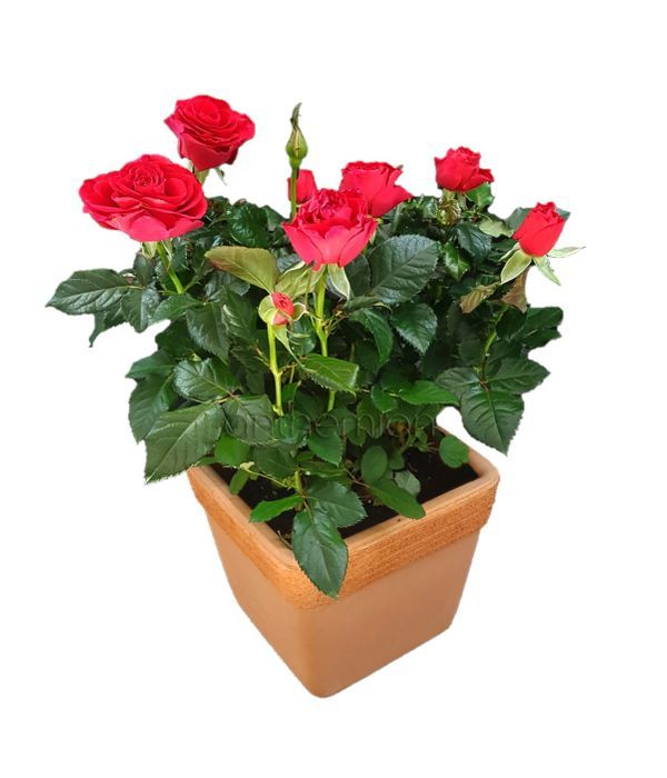 Beautiful red rose plant