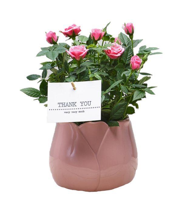 Pink Rose plant in ceramic